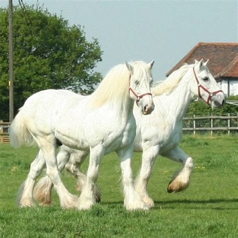 The Ostler is home to 4 White Shire Horses - Horse
