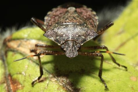 Finally, some good news about stink bugs   WTOP