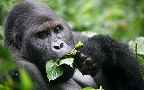 Just A Reminder That Gorillas Hum 'Little Food Songs' To