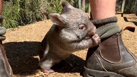 Watch a Rescued Baby Wombat Bond With His Caretaker in